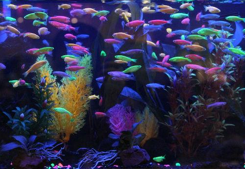 Glofish agazoo for Glow in dark fish