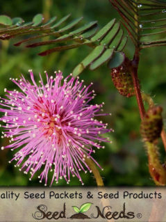 Mimosa - Sensitive Plant Seeds 1
