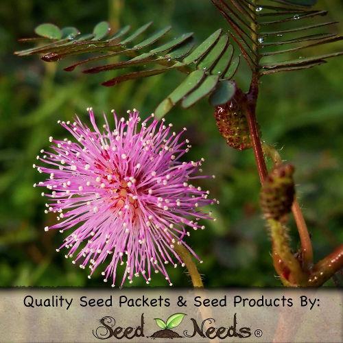Mimosa - Sensitive Plant Seeds 1
